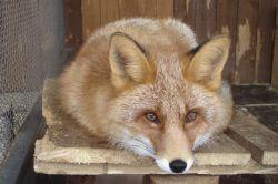 fox big